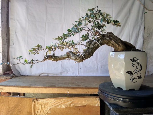 Bonsai Elaeagnus Pungens LONG CASCADE 02.1511 - kebunbibit
