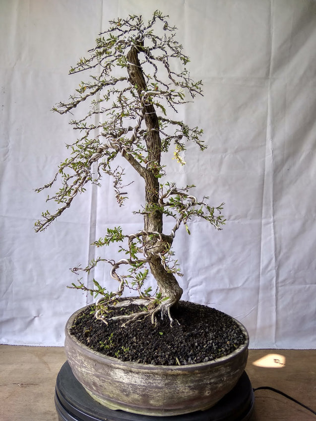 Bonsai Phyllanthus Neruri Twin - kebunbibit