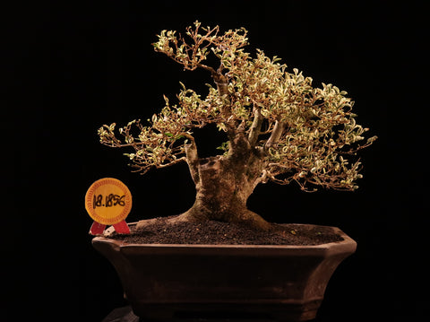 Bonsai Ligustrum Variegated 18.1856