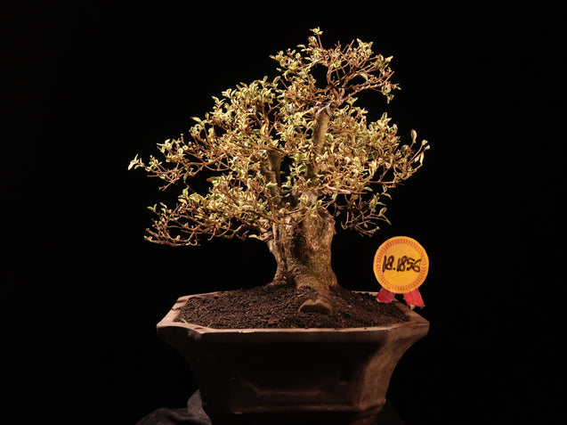 Bonsai Ligustrum Variegated 18.1856 - kebunbibit