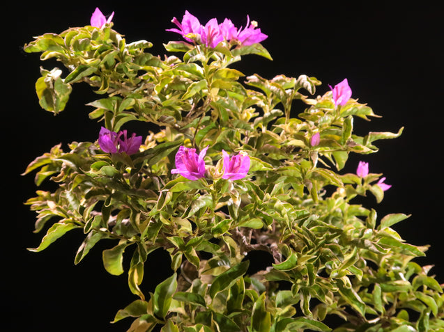 Bonsai Bougainvillea AHL.29.2211 - kebunbibit