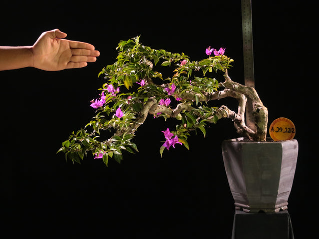Bonsai Bougainvillea AHL.29.2212 - kebunbibit
