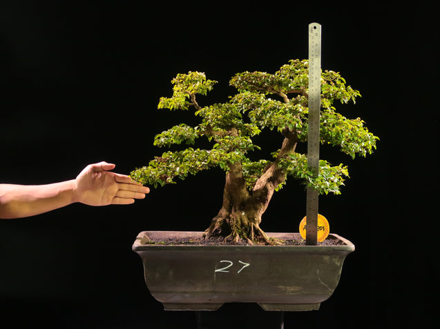 Bonsai Ligustrum Green AHL.22.2201 - kebunbibit