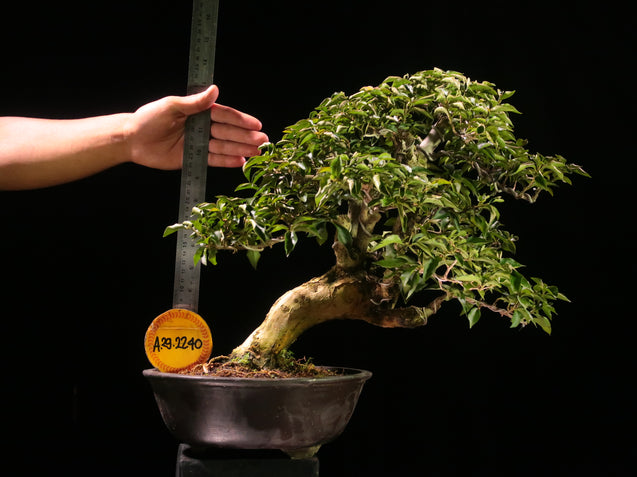 Bonsai Bougainvillea AHL.29.2240 - kebunbibit