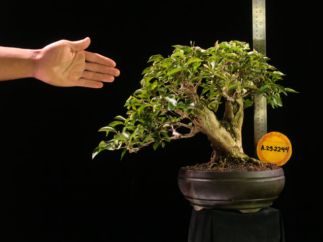 Bonsai Bougainvillea AHL.29.2244