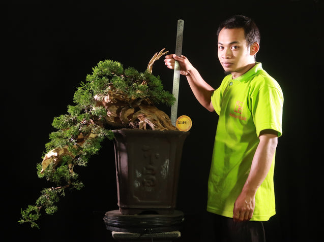 Bonsai Juniperus Chinensis Sargentii 28.1641 with TANUKI - kebunbibit