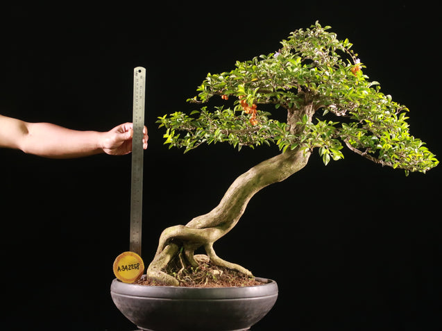 Bonsai Duranta Erecta AHL.34.2258 - kebunbibit