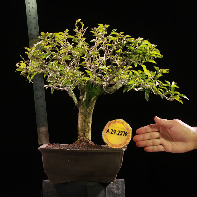 Bonsai Bougainvillea AHL.29.2270 - kebunbibit