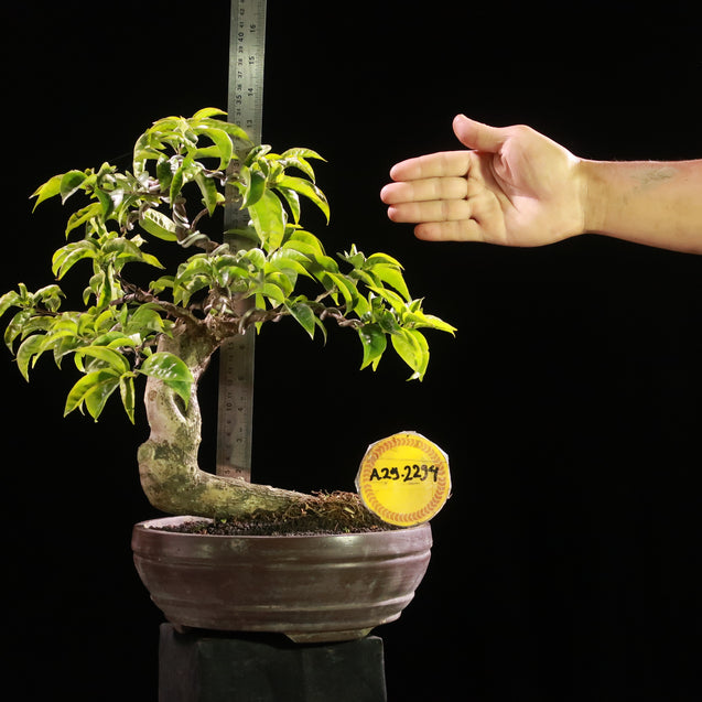 Bonsai Bougainvillea AHL.29.2294 - kebunbibit