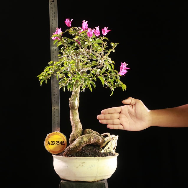 Bonsai Bougainvillea AHL.29.2342 - kebunbibit