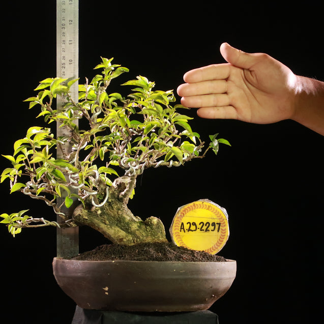 Bonsai Bougainvillea AHL.29.2297