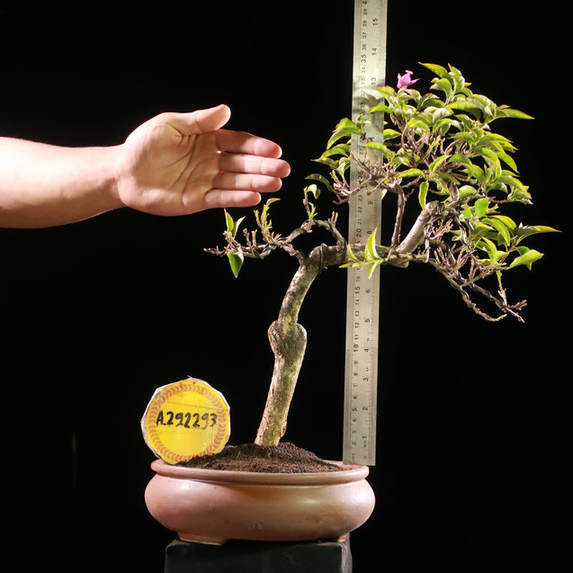 Bonsai Bougainvillea AHL.29.2293 - kebunbibit