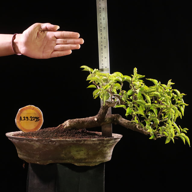 Bonsai Bougainvillea AHL.29.2295 - kebunbibit