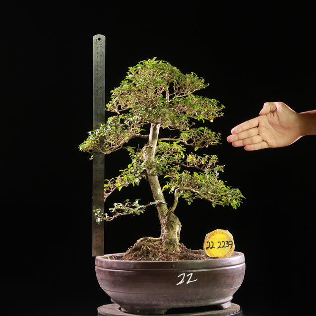 Bonsai Ligustrum Green AHL.22.2239 - kebunbibit