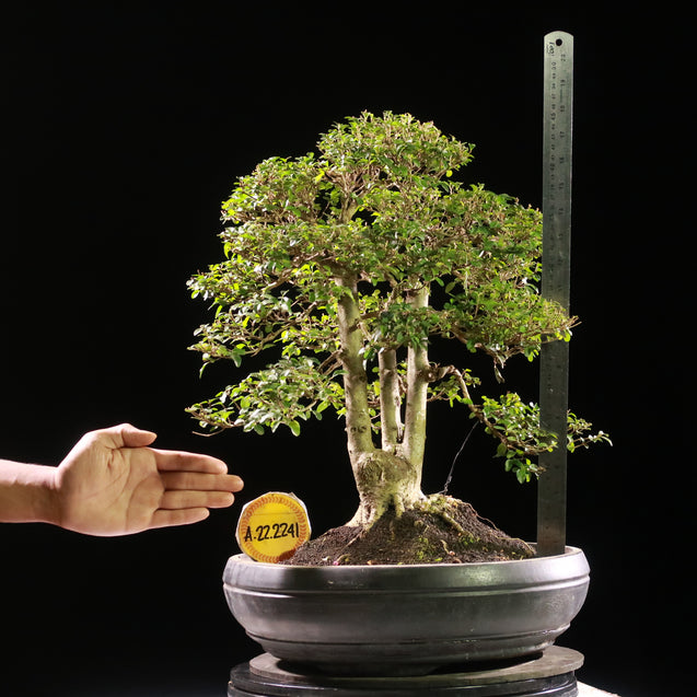 Bonsai Ligustrum Green AHL.22.2241 - kebunbibit