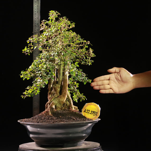 Bonsai Ligustrum Green AHL.22.2292 - kebunbibit