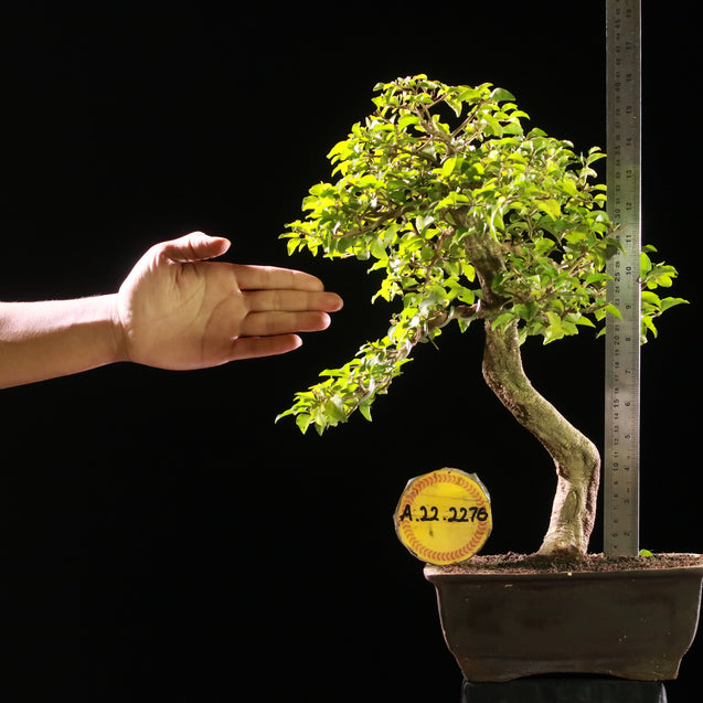 Bonsai Duranta Erecta AHL.22.2276 - kebunbibit