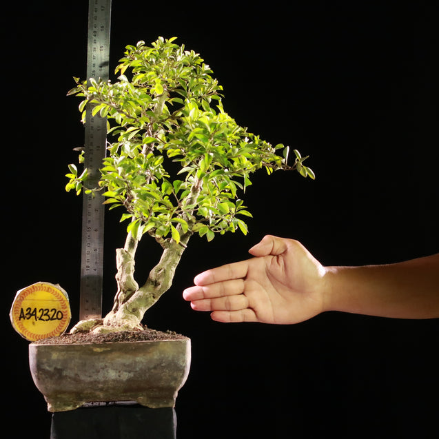 Bonsai Duranta Erecta AHL.34.2320 - kebunbibit
