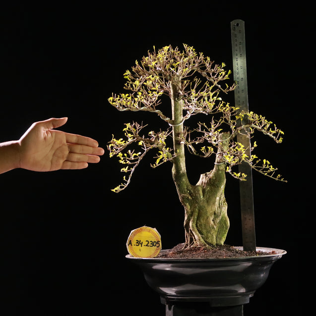 Bonsai Duranta Erecta AHL.34.2305 - kebunbibit