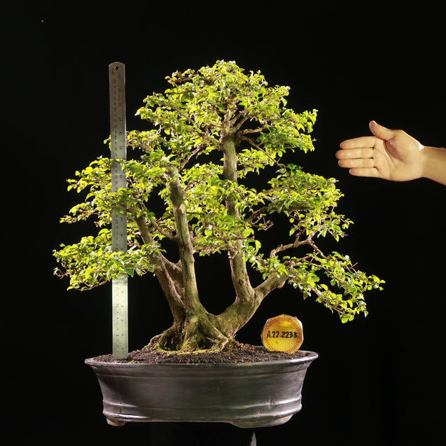 Bonsai Ligustrum Green AHL.22.2233