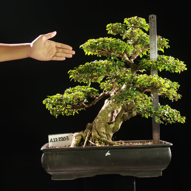 Bonsai Ligustrum Green AHL.22.2203