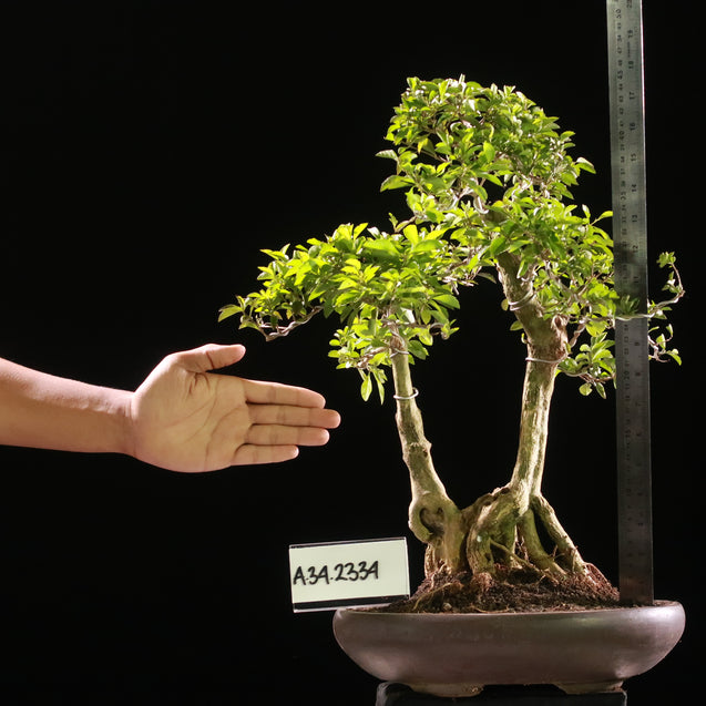 Bonsai Duranta Erecta AHL.34.2334 - kebunbibit
