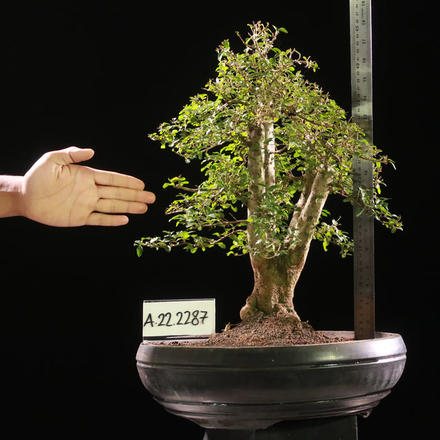 Bonsai Ligustrum Golden AHL.22.2287 - kebunbibit