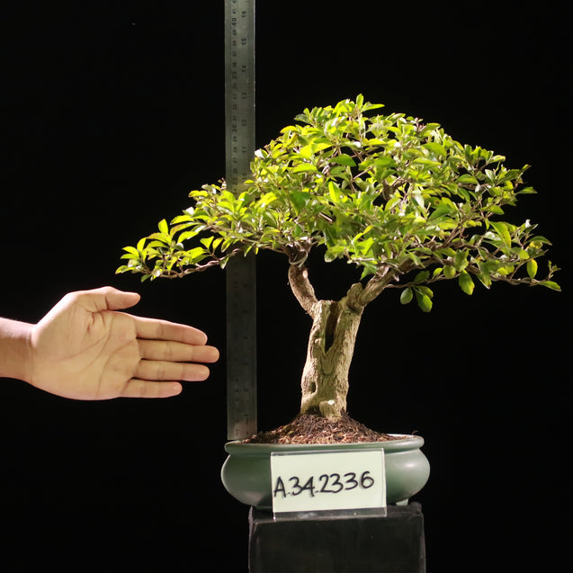 Bonsai Duranta Erecta AHL.34.2336 - kebunbibit