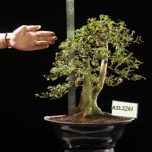 Bonsai Ligustrum Green AHL.22.2261 - kebunbibit