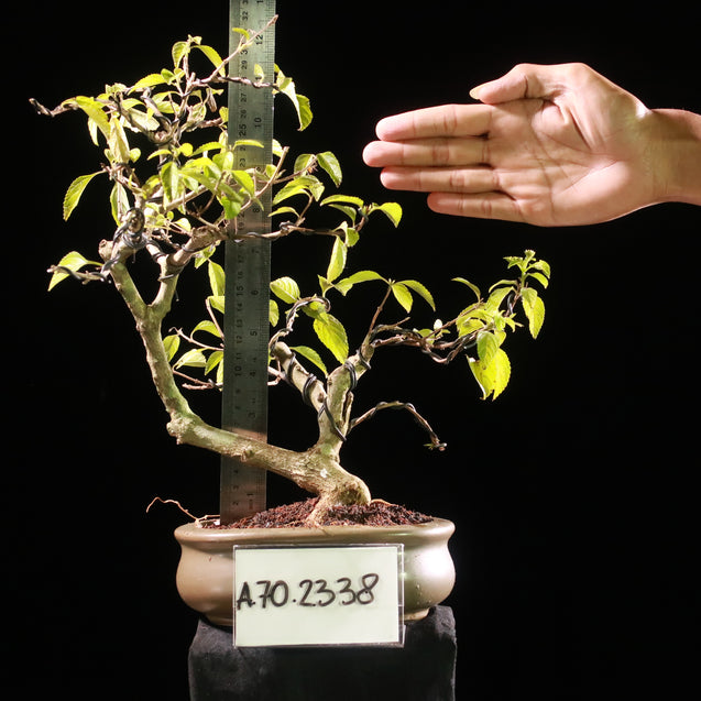 Bonsai Celtis Sp AHL.70.2338 - kebunbibit