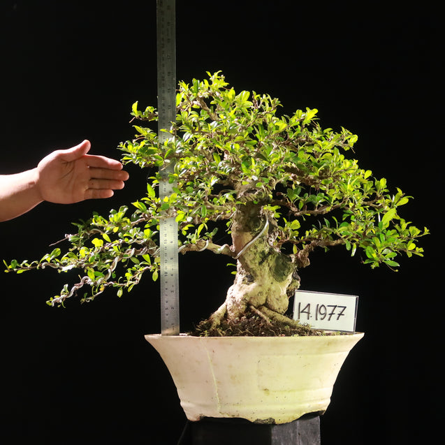 Bonsai Carmona Microphyla 14.1977 - kebunbibit
