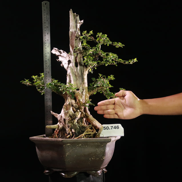 Bonsai Cudrania Chochinchinensis 50.746