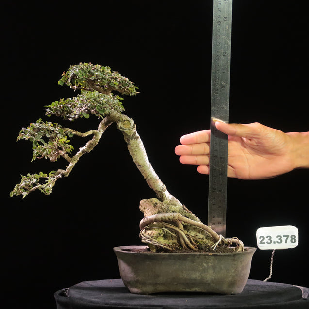 Bonsai Ulmus Lancaefolia Ref 23.378 ON THE ROCK