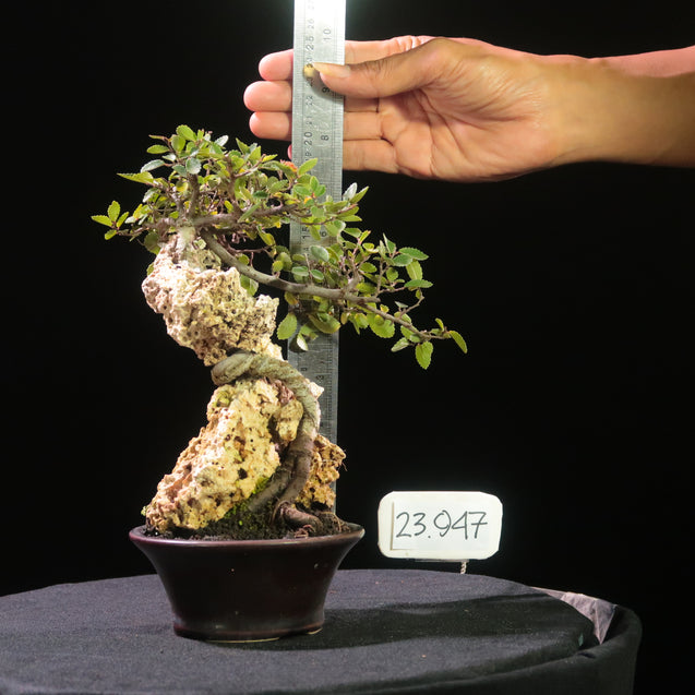 Bonsai Ulmus Lancaefolia ON THE ROCK 23.947 - kebunbibit