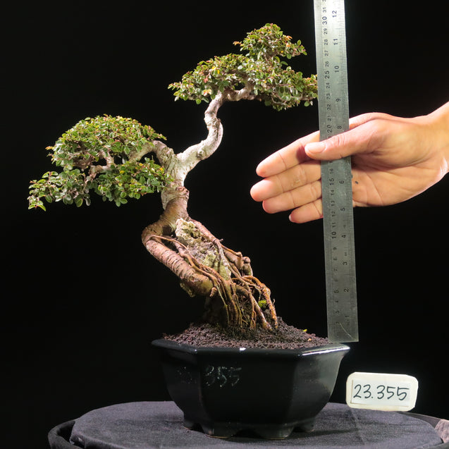 Bonsai Ulmus Lancaefolia Ref 23.355 ON THE ROCK