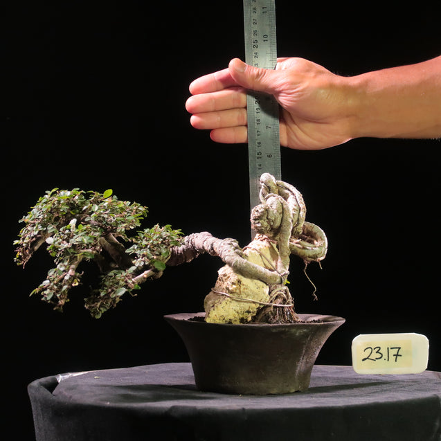 Bonsai Ulmus Lancaefolia On Rock 23.17