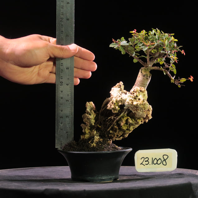 Bonsai Ulmus Lancaefolia ON THE ROCK 23.1008