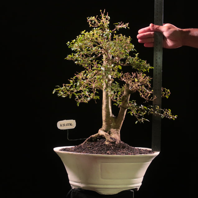Bonsai Ligustrum Green AHL.22.2236 - kebunbibit