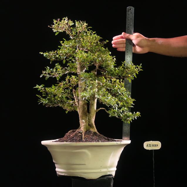 Bonsai Ligustrum Green AHL.22.2237 - kebunbibit