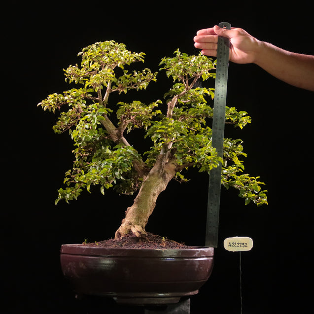 Bonsai Ligustrum green AHL.22.2232 - kebunbibit