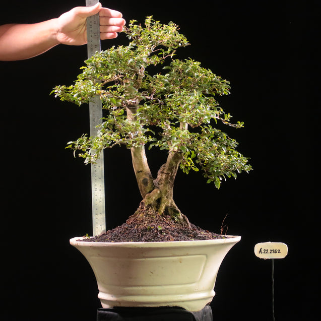 Bonsai Ligustrum Green AHL.22.2262 - kebunbibit