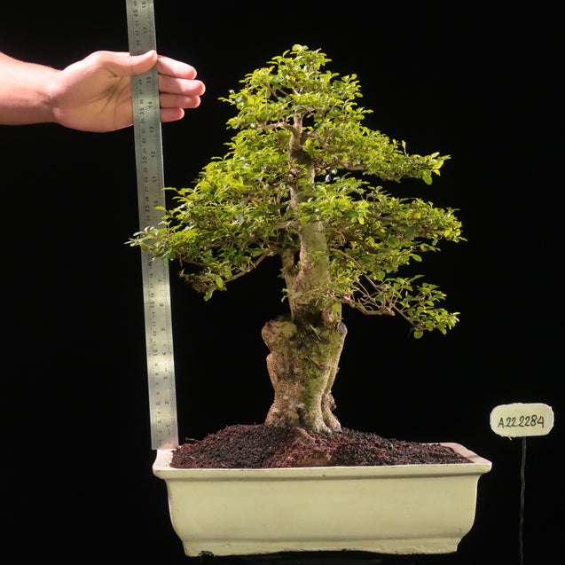 Bonsai Ligustrum Green AHL.22.2284