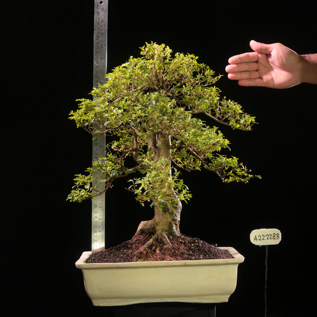 Bonsai Ligustrum Green AHL.22.2283