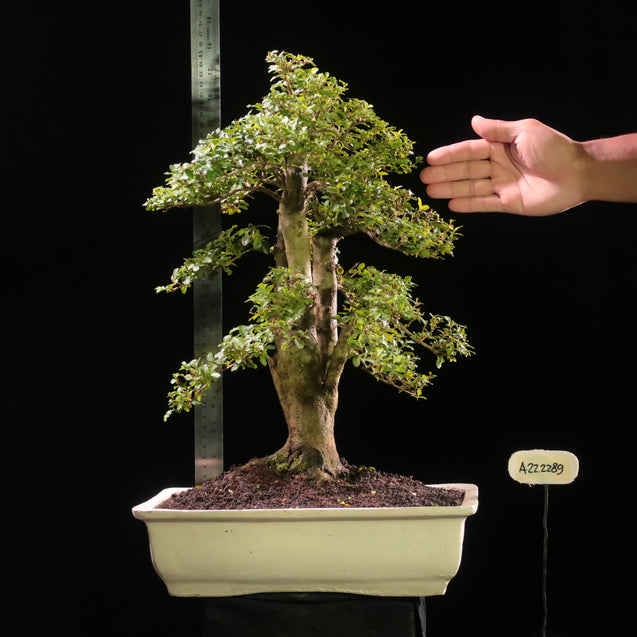 Bonsai Ligustrum Green AHL.22.2289