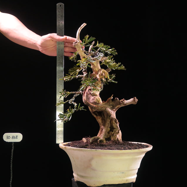 Bonsai Podocarpus Macrophyllus 30.868 with Tanuki