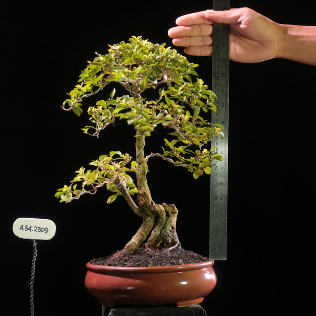 Bonsai Duranta Erecta AHL.34.2309 B - kebunbibit