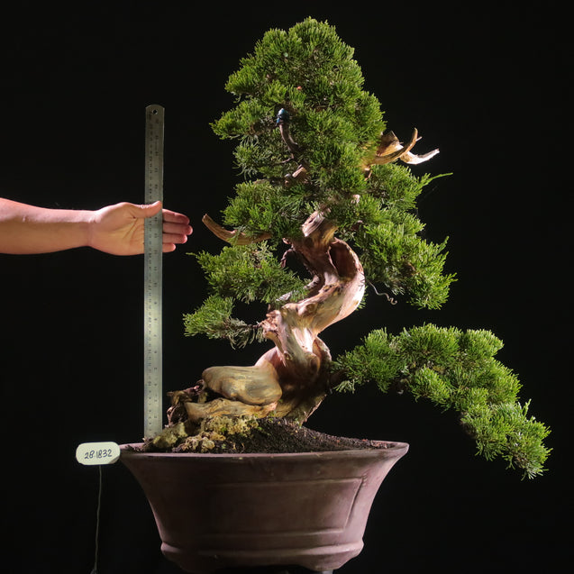 Bonsai Juniperus Chinensis Sargentii 28.1832 with Tanuki - kebunbibit