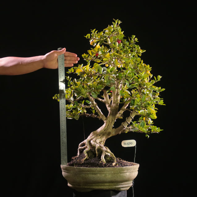 Bonsai Malpighia Sp. 26.1670