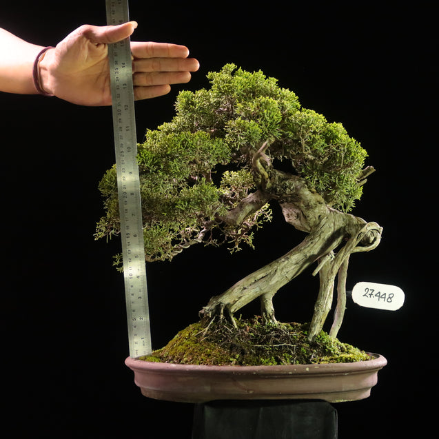 Bonsai Juniperus Chinensis Sargentii 27.448 - kebunbibit