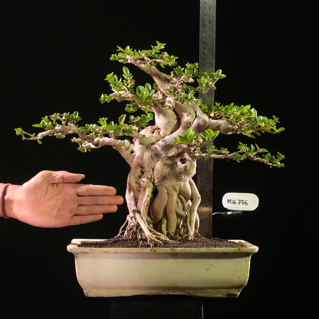 Bonsai Premna Microphyla M.16.756